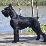 Ризеншнауцер щенки чёрного окраса, Тольятти