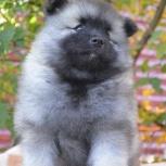 Породные щенки вольфшпица (кеесхонда), Тольятти